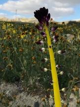 Caulanthus inflatus, Desert Candle, Carrizo Plain
