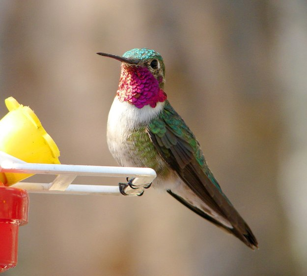 1024px-Male_Broad-tailed_Hummingbird_1