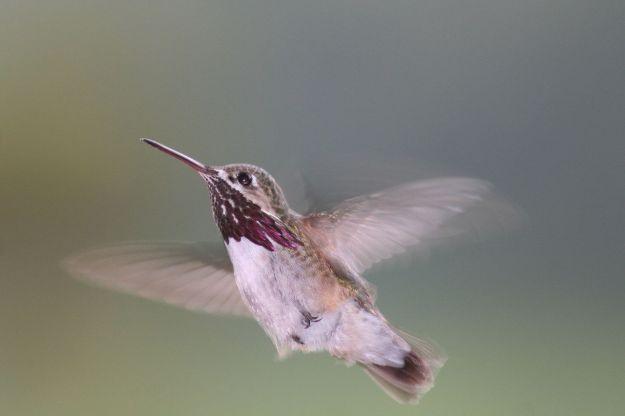 1280px-Pause_in_Flight;_Calliope_Hummingbird_(Stellula_calliope)