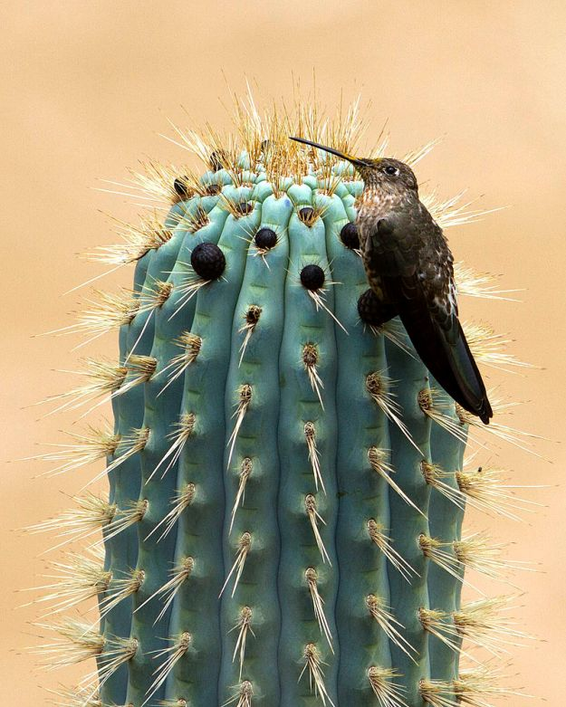 800px-Giant_hummingbird_Patagonia_Gigas_on_cactus_in_Peru_by_Devon_Pike