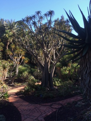 Center in the picture here is one of the old world Tree Aloes, evolving from separate genetic lines, in different hemispheres, convergently, resulting in very similar forms...a more obvious repeat of proven patterns with the New World Agaves.