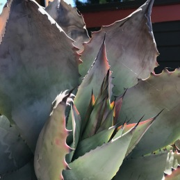 Agave colorata taken on July 8, 2018 the first day I noticed flowering had begun.