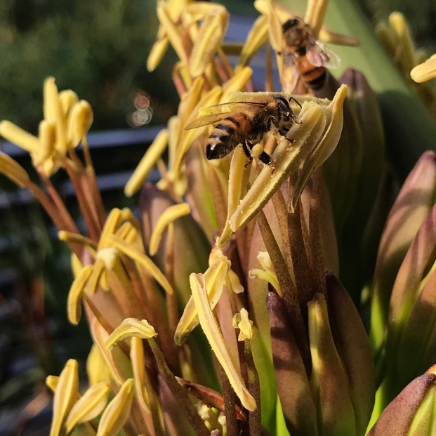 Oct 27, 2018 The entire process has been slowing down, the flowers in the lowest 'branch' opening on Oct. 12. Here you can see my neighbor's bees busy working the flowers, some of the long canoe shaped anthers split open and dehiscing their pollen. The overall structure of the inflorescence and the anthers provide the main visual 'show' when these bloom the corolla, or petal structure and perianth is secondary.