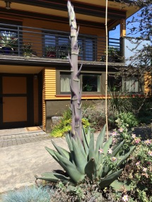 At this point 'Sharky's' inflorescence is 6' tall with 14' to go. This plant is smaller in every way than my Agave montana.