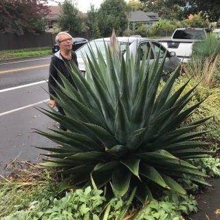 We came home at the end of Sept. from a week at the beach and found our Agave montana beginning to 'shoot'.