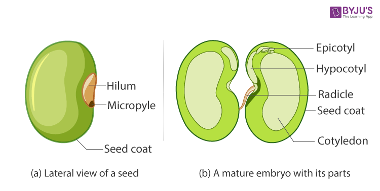 dicot-seed