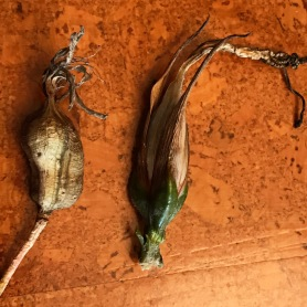 Dried fruits typical of Lily family members, each 3 chambered with flattened seeds stacked one atop the other, Beschorneria on the left, Puya mirabilis on the right.