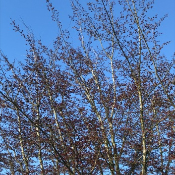 Parrotia persica in January with its compact crimson flowers open against the sky.