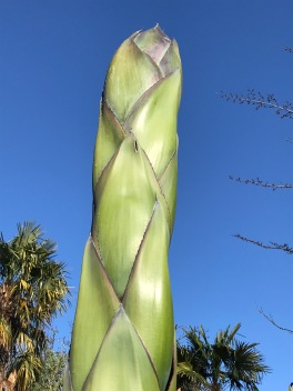 The peduncle of my flowering Agave montana, from the high elevation of Sierra Madre Orientale, during its winter hiatus.