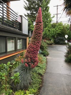 Echium wildpretti, on any other year, this would have been the street side star!