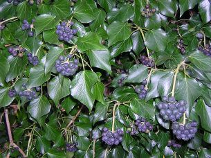 Hedera hibernica with its more 'rounded' mature leaves and fruit.