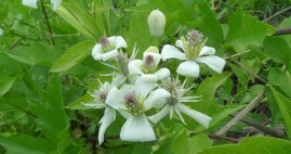 The female flowers of the native Clematis ligusticifolia, Wikipedia