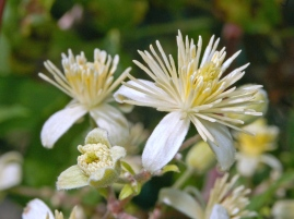 The perfect flowers of Clematis vitalba, the female structures in the center of the flower. Wikipedia