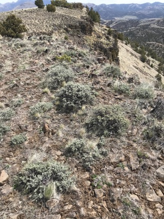 Typical of much of more rocky areas here are landscapes like this, with Little Sagebrush. The rim here is precipitous.