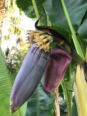 In contrast, this is the inflorescence of my Musa sikkimensis from 2020 with its long purple bracts, which it sheds after revealing its concealed flowers. From its first appearance it 'nods' downward. It's individual flowers show its incipient fruits already formed at the base of each flower.